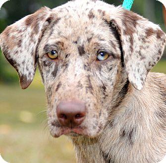 Great Dane/Australian Shepherd Mix Puppy for adoption in Wakefield ...