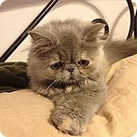 Adopt A Pet :: Miyu - Beverly Hills, CA