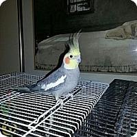 Adopt A Pet :: Arora and Yoshi - St. Louis, MO