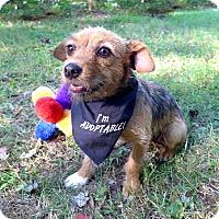 Adopt A Pet :: Ashton - Mocksville, NC