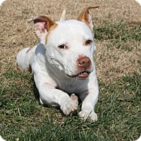 Basset Hound/Staffordshire Bull Terrier Mix Dog for adoption in High Point, North Carolina - Wendell