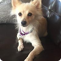 Adopt A Pet :: Pebbles - Richmond, VA