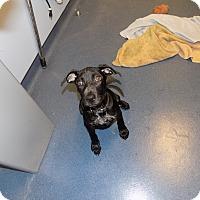 Adopt A Pet :: josie - Jupiter, FL