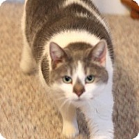 Domestic Shorthair Cat for adoption in Concord, North Carolina - Peanut