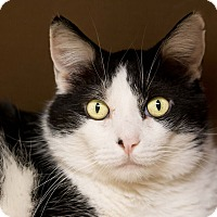 Adopt A Pet :: Thomas - Fountain Hills, AZ