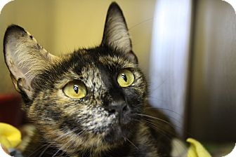 Domestic Shorthair Cat for adoption in Sarasota, Florida - Ursa Major