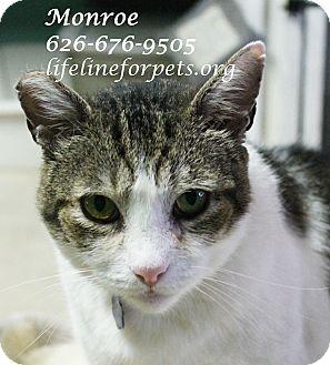 Domestic Shorthair Cat for adoption in Monrovia, California - Marvelous MONROE