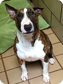 Bull Terrier Dog for adoption in Houston, Texas - Phoebe