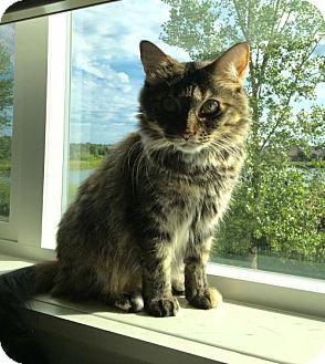 Domestic Mediumhair Cat for adoption in Blaine, Minnesota - Emily
