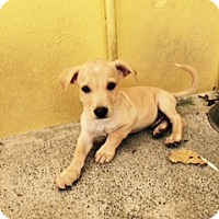 Adopt A Pet :: Levi (Courtesy listing) - Bartonsville, PA