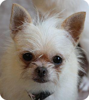 Chihuahua Mix Dog for adoption in Greensboro, North Carolina - Chula