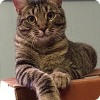 Adopt A Pet :: Pocket Tabby - Chattanooga, TN