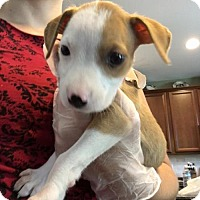 Boxer Mix Puppy for adoption in Alpharetta, Georgia - Sabriel