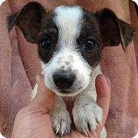 Adopt A Pet :: Darcie - Boston, MA