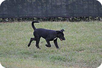 Labrador Retriever/German Shepherd Dog Mix Puppy for adoption in Shaw AFB, South Carolina - Willie