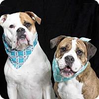 American Bulldog/English Bulldog Mix Dog for adoption in richmond, Virginia - DAISY and POPPY