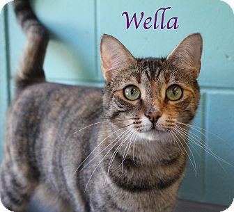 Domestic Shorthair Cat for adoption in Bradenton, Florida - Wella