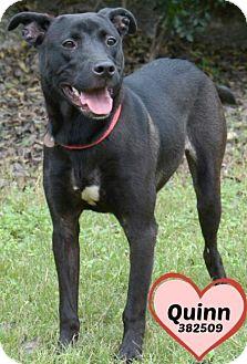 Labrador Retriever/Labrador Retriever Mix Dog for adoption in San Antonio, Texas - 382509 Quinn