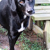 Labrador Retriever Mix Dog for adoption in Murphysboro, Illinois - Piper