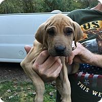 Adopt A Pet :: Chopper - Hohenwald, TN