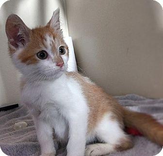 Domestic Shorthair Kitten for adoption in Gahanna, Ohio - Zach