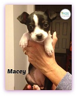 Boston Terrier/Chihuahua Mix Puppy for adoption in Plainfield, Illinois - Macey