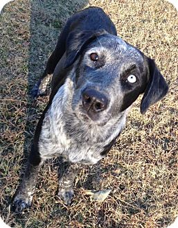 Australian Cattle Dog/Cattle Dog Mix Dog for adoption in E. Greenwhich, Rhode Island - Cowgirl