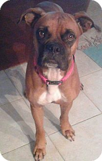 Boxer Dog for adoption in Austin, Texas - Ananda
