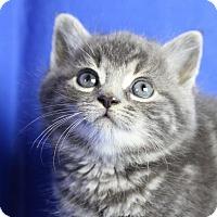 Adopt A Pet :: Eeyore - Winston-Salem, NC