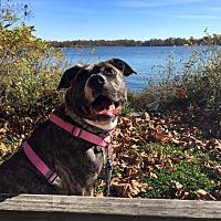 Adopt A Pet :: Bean - Cedarbrook, NJ