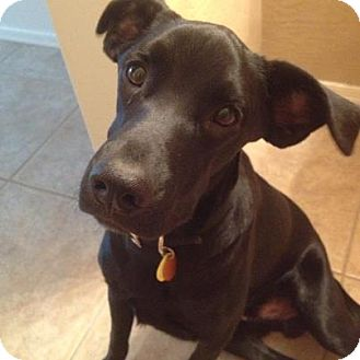 Labrador Retriever Mix Puppy for adoption in Scottsdale, Arizona - Shadow