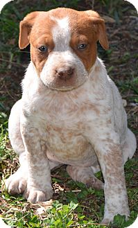 Carla | Adopted Puppy | BB | Washington, DC | Blue Heeler ...