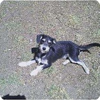 Schnauzer (Standard)/Dachshund Mix Dog for adoption in Los Angeles, California - Tanner & Jordan