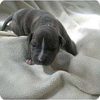 Adopt A Pet :: Lambeau - Antioch, IL