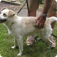 Adopt A Pet :: Koda - Franklin, NH