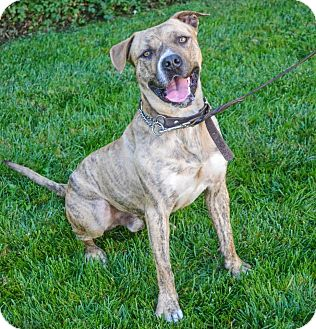 American Pit Bull Terrier Mix Dog for adoption in Lincoln, California - Sawyer