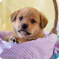 Adopt A Pet :: Tator Tot - Baltimore, MD