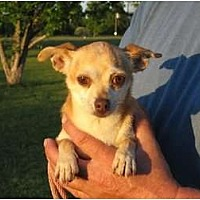 Chihuahua Dog for adoption in Allentown, Pennsylvania - Tia