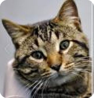 Domestic Shorthair Cat for adoption in Chicago, Illinois - Fagan