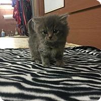 Adopt A Pet :: Arya - Danbury, CT