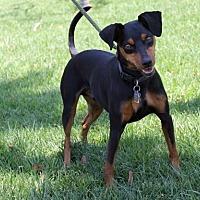 Adopt A Pet :: Dexter - El Segundo, CA