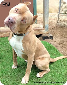 Staffordshire Bull Terrier Mix Dog for adoption in Toluca Lake, California - Big Red