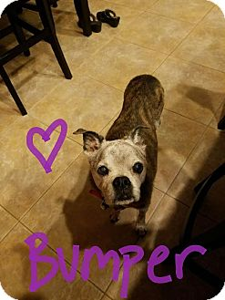 Boxer/Pug Mix Dog for adoption in Goodyear, Arizona - Bumper