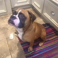 English Bulldog/Boxer Mix Dog for adoption in Missouri City, Texas - Zikomo