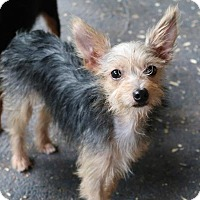 Yorkie, Yorkshire Terrier/Rat Terrier Mix Dog for adoption in Towson, Maryland - Damby
