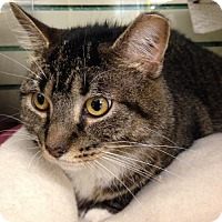 Domestic Shorthair Cat for adoption in Pittsburgh, Pennsylvania - Shoe