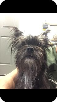 Schnauzer (Miniature)/Terrier (Unknown Type, Small) Mix Dog for adoption in Middletown, Ohio - Luke