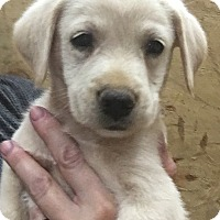 Labrador Retriever Mix Puppy for adoption in Trenton, New Jersey - Grant (HAS BEEN ADOPTED)