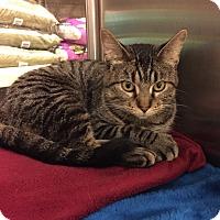 Domestic Shorthair Cat for adoption in Barrington Hills, Illinois - Wisconsin Mom