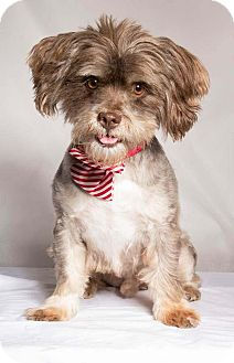 Lhasa Apso Mix Dog for adoption in Baton Rouge, Louisiana - Poet